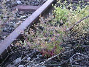 Geranium purpureum (= Geranium robertianum subsp. purpureum, Geraniaceae), at the railway station of Bellach, Canton of Solothurn, Switzerland